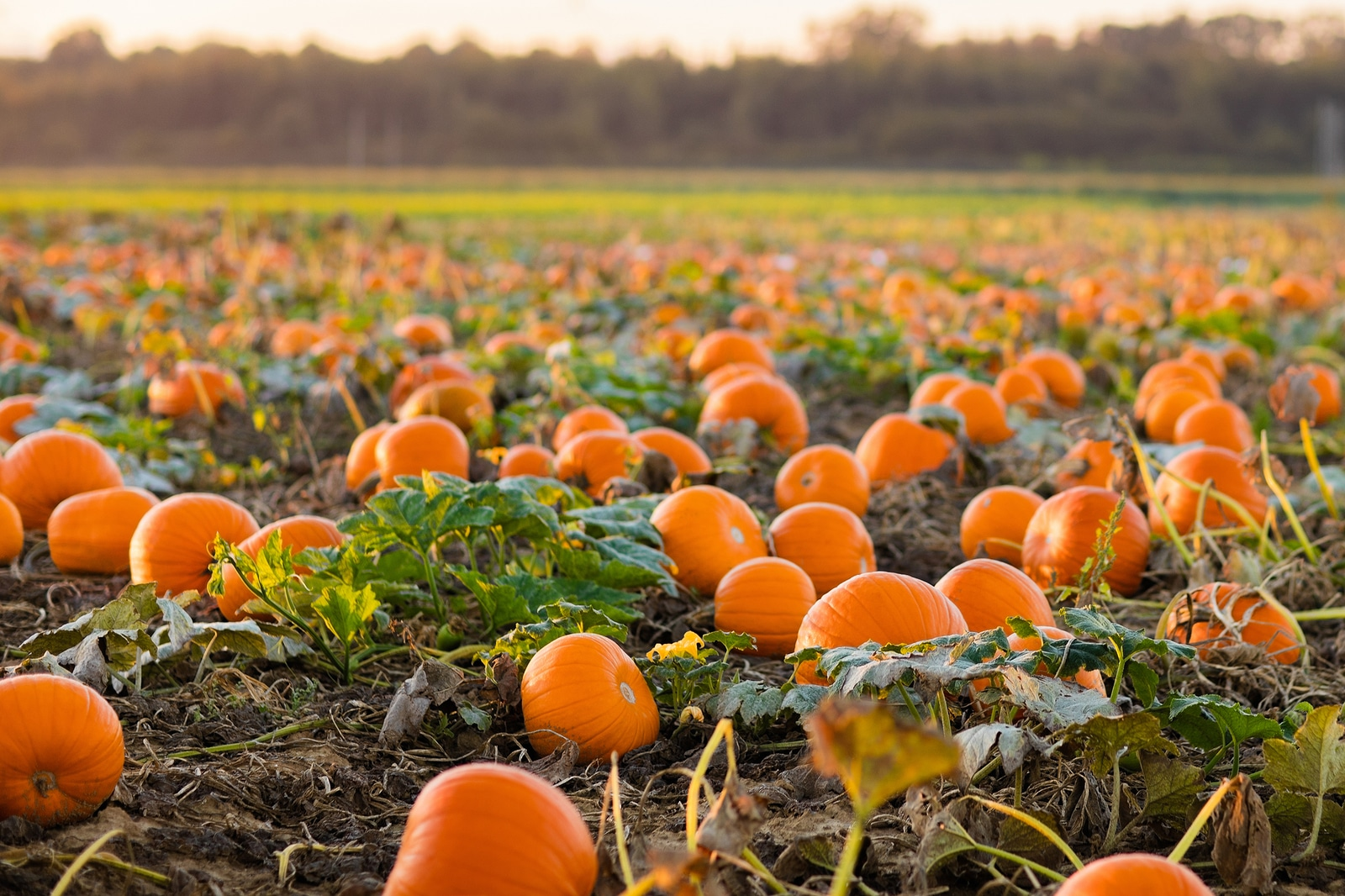 Great pumpkins this fall