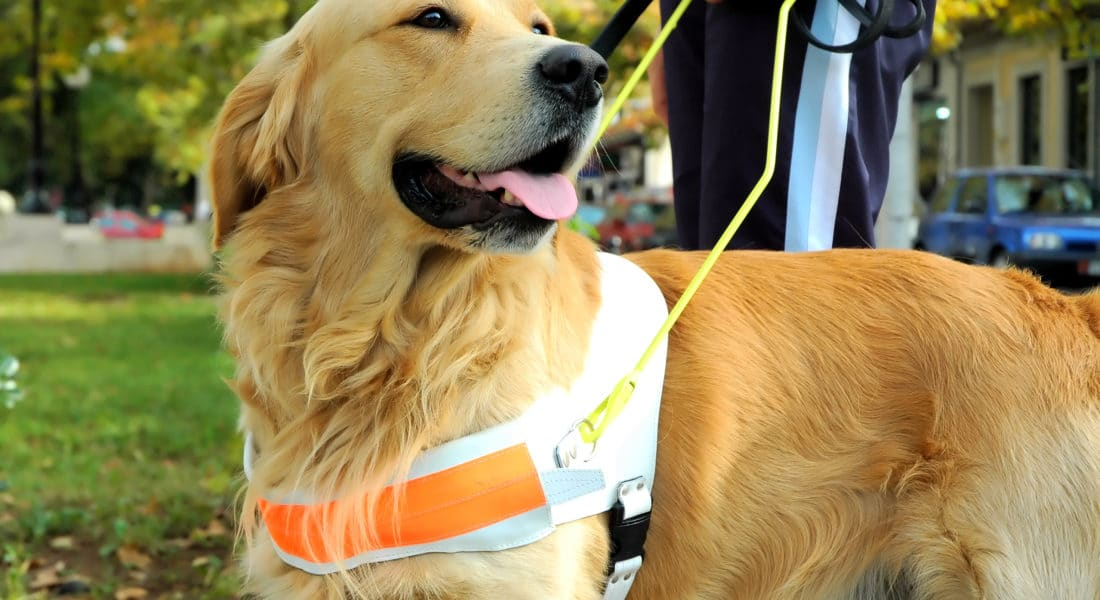 Close up view of trained assistant dog.Golden retriver.