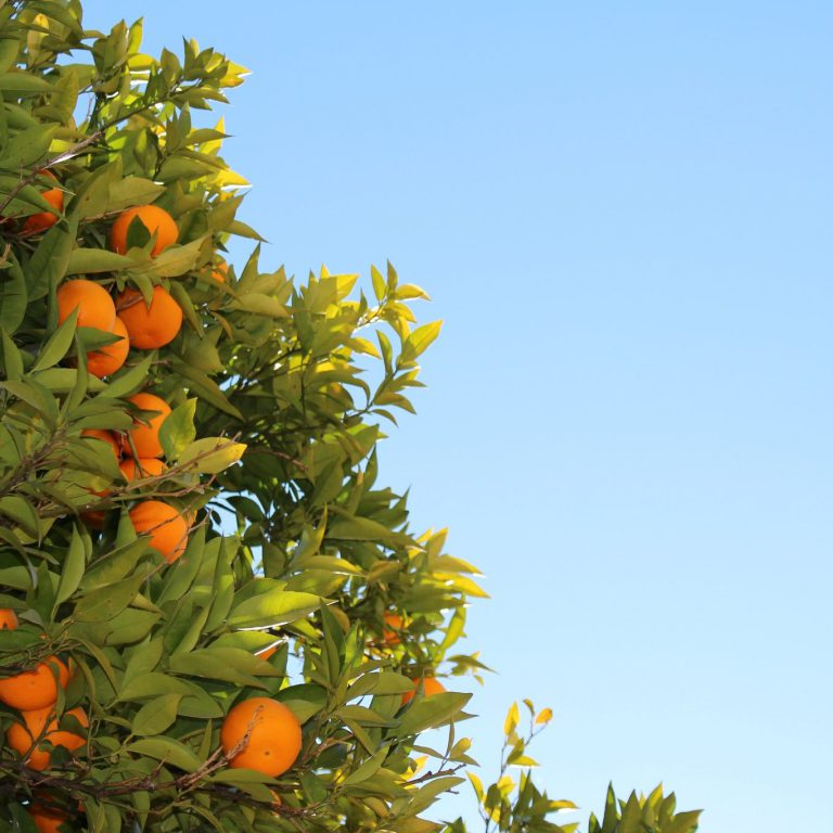 oranges growing on tree